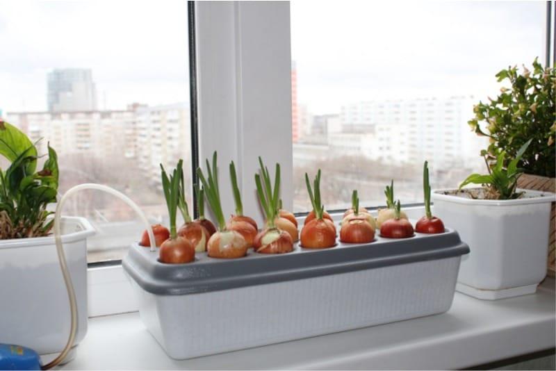 พืชไฮโดรโพนิกสำหรับการปลูกต้นหอม