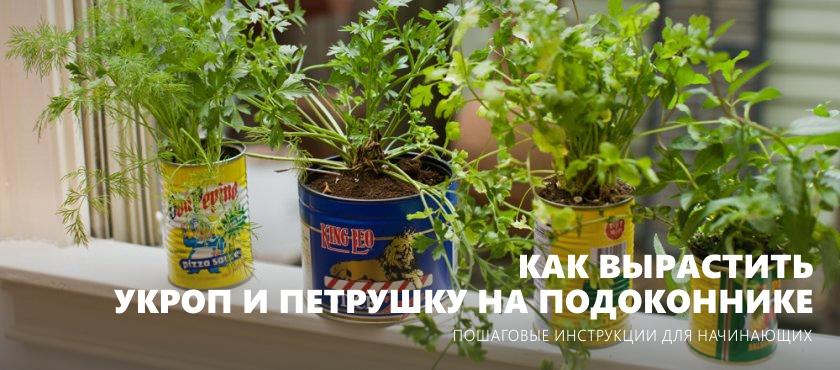 วิธีการปลูกผักชีฝรั่งและผักชีฝรั่งใน windowsill